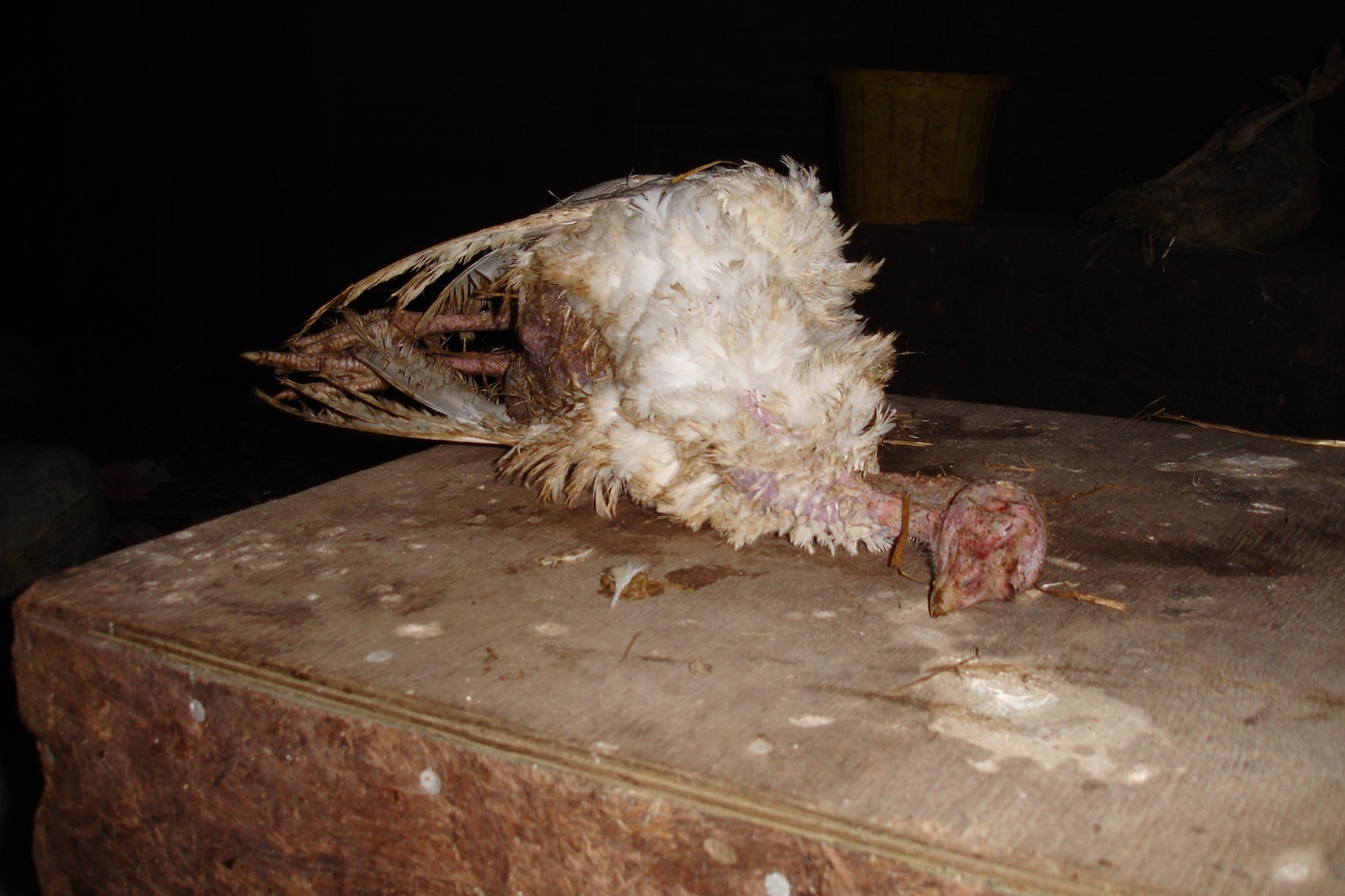 Dead turkey inside a factory farm