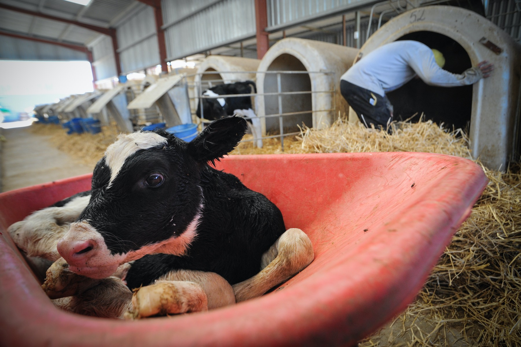 Dairy Veal Farm / We Animals Media