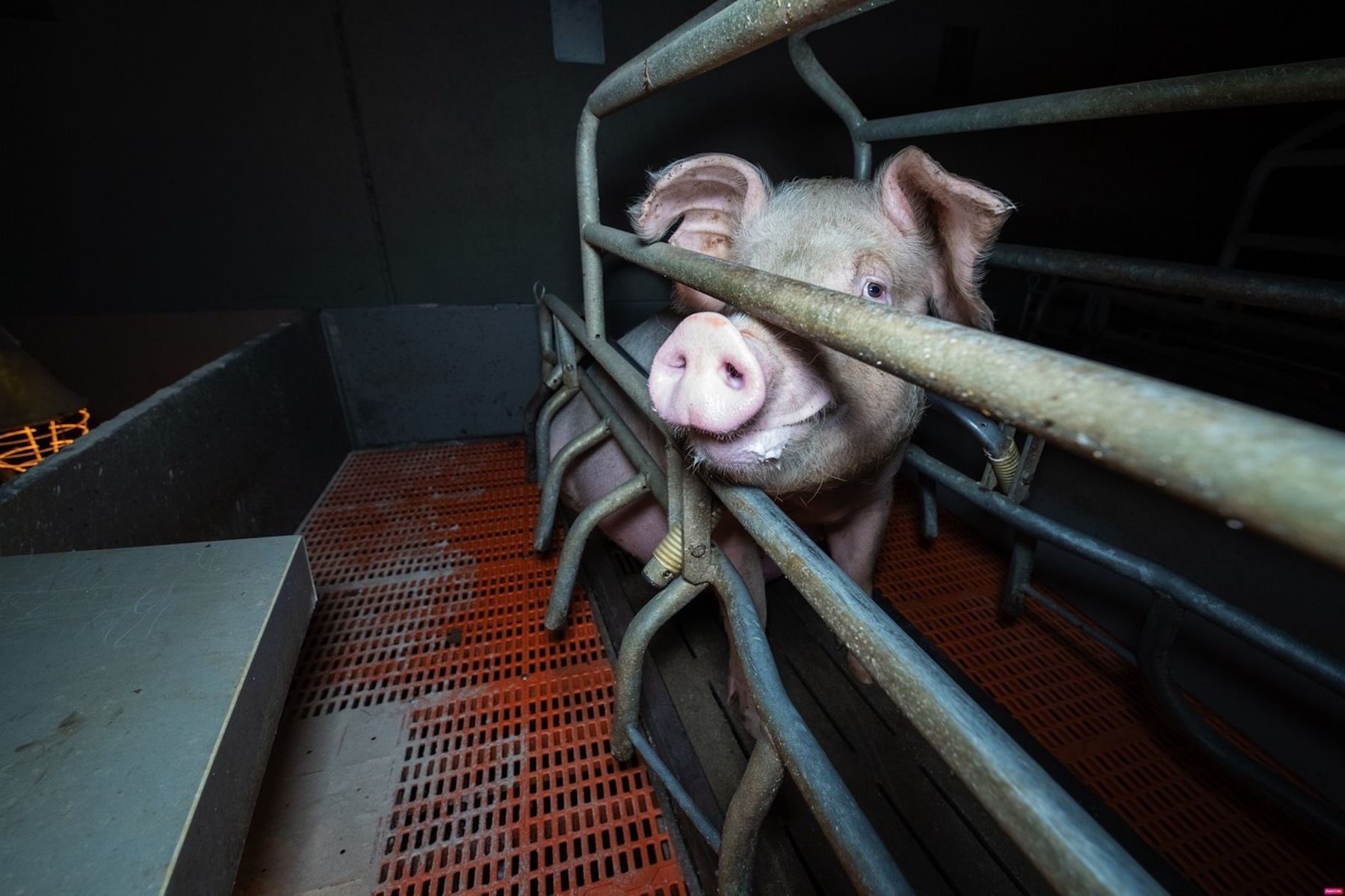 A pig in a Factory Farm