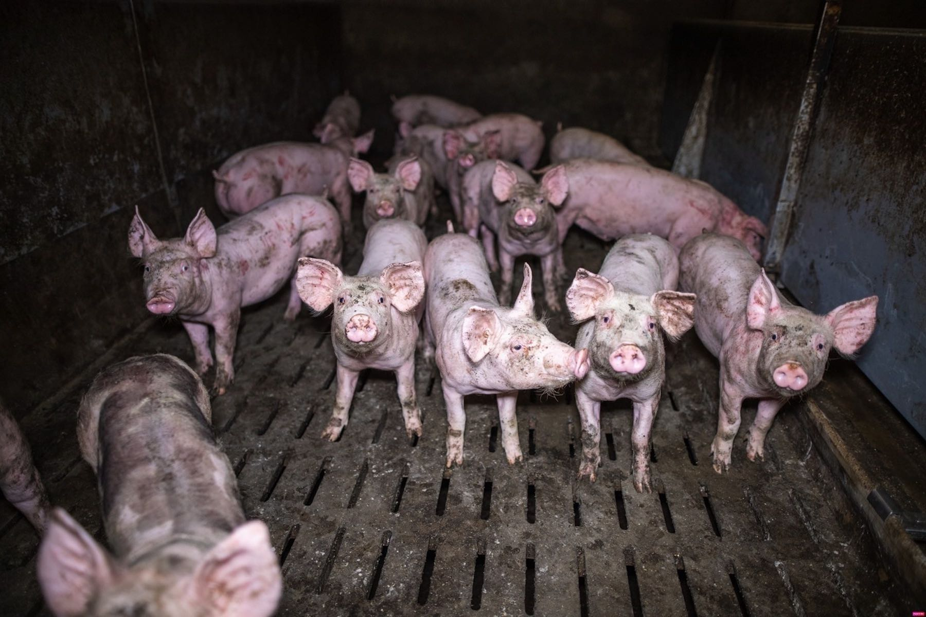 piglets in a factory farm