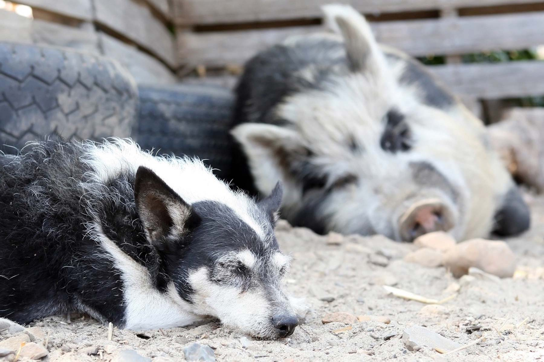 Pigs share many characteristics with dogs