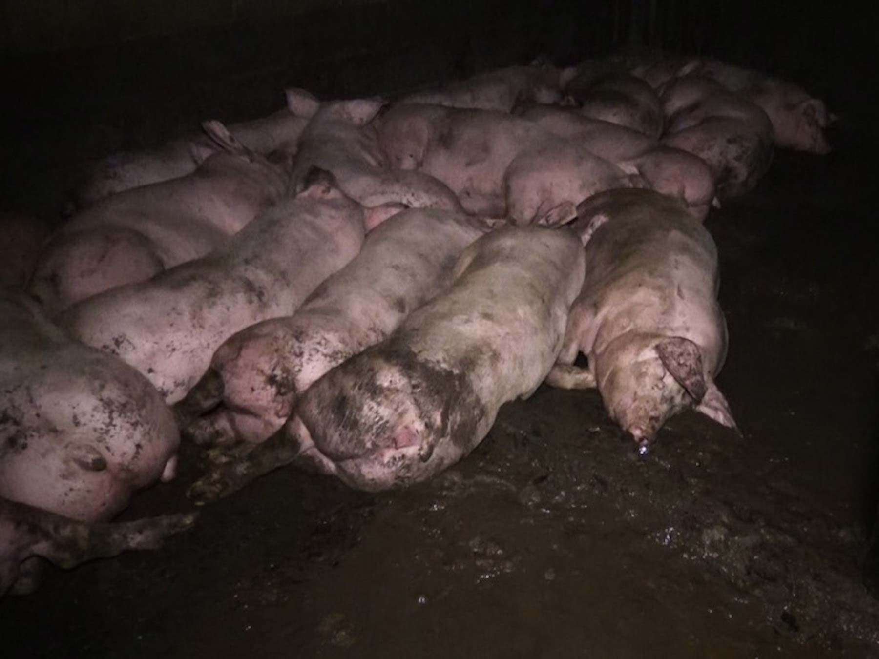 Pigs living in their own waste