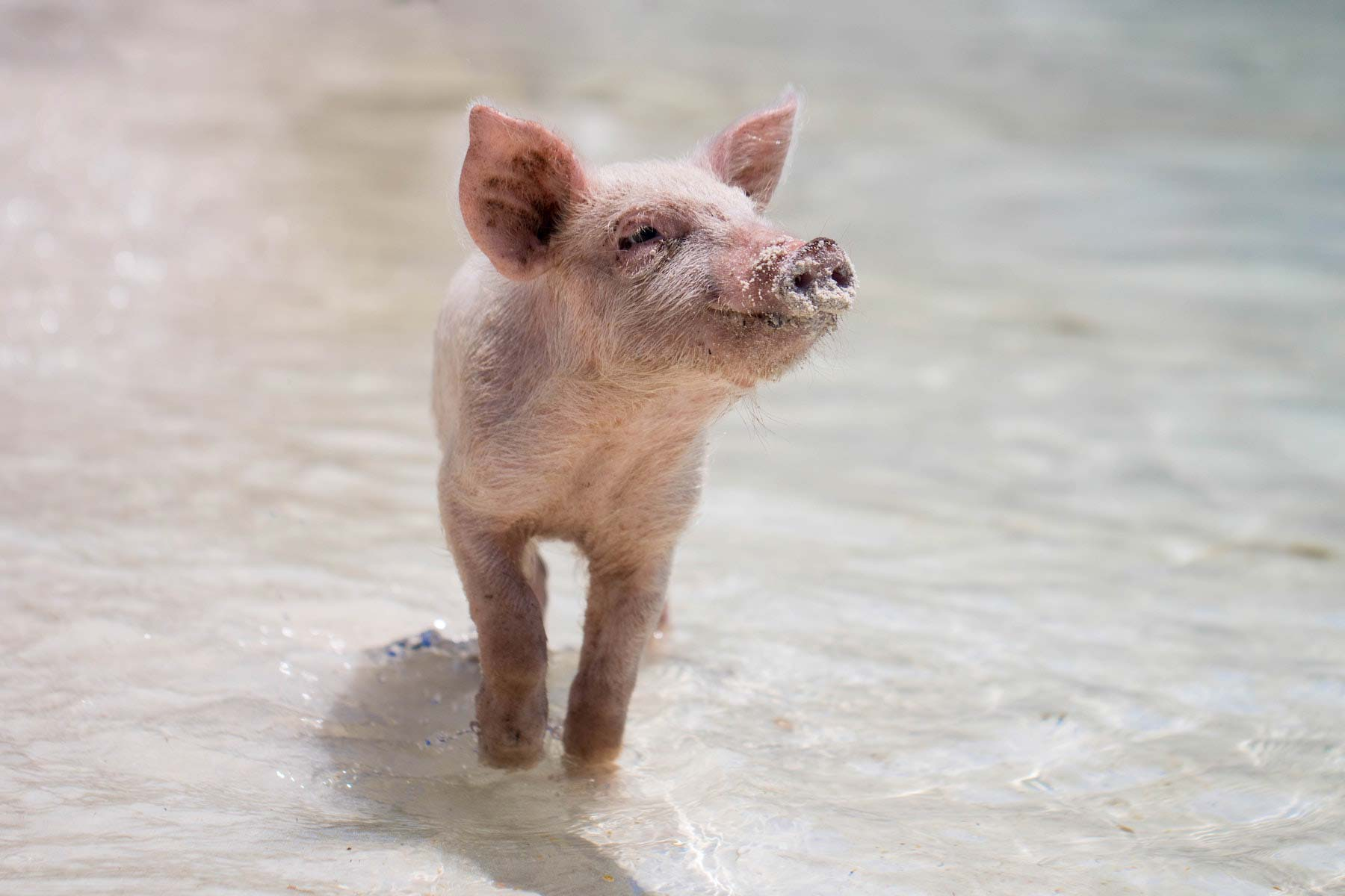 Happy piglet at the beach