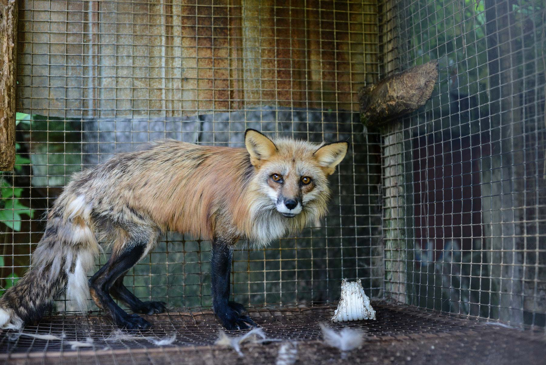 fox in a fur farm