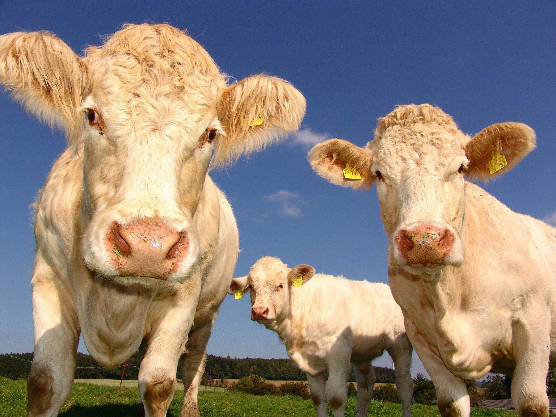cows want you to go vegan