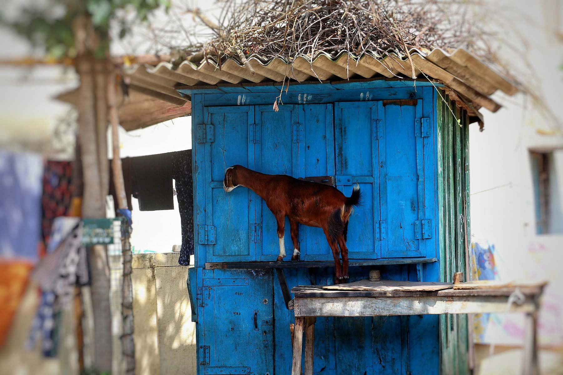 A goat in India
