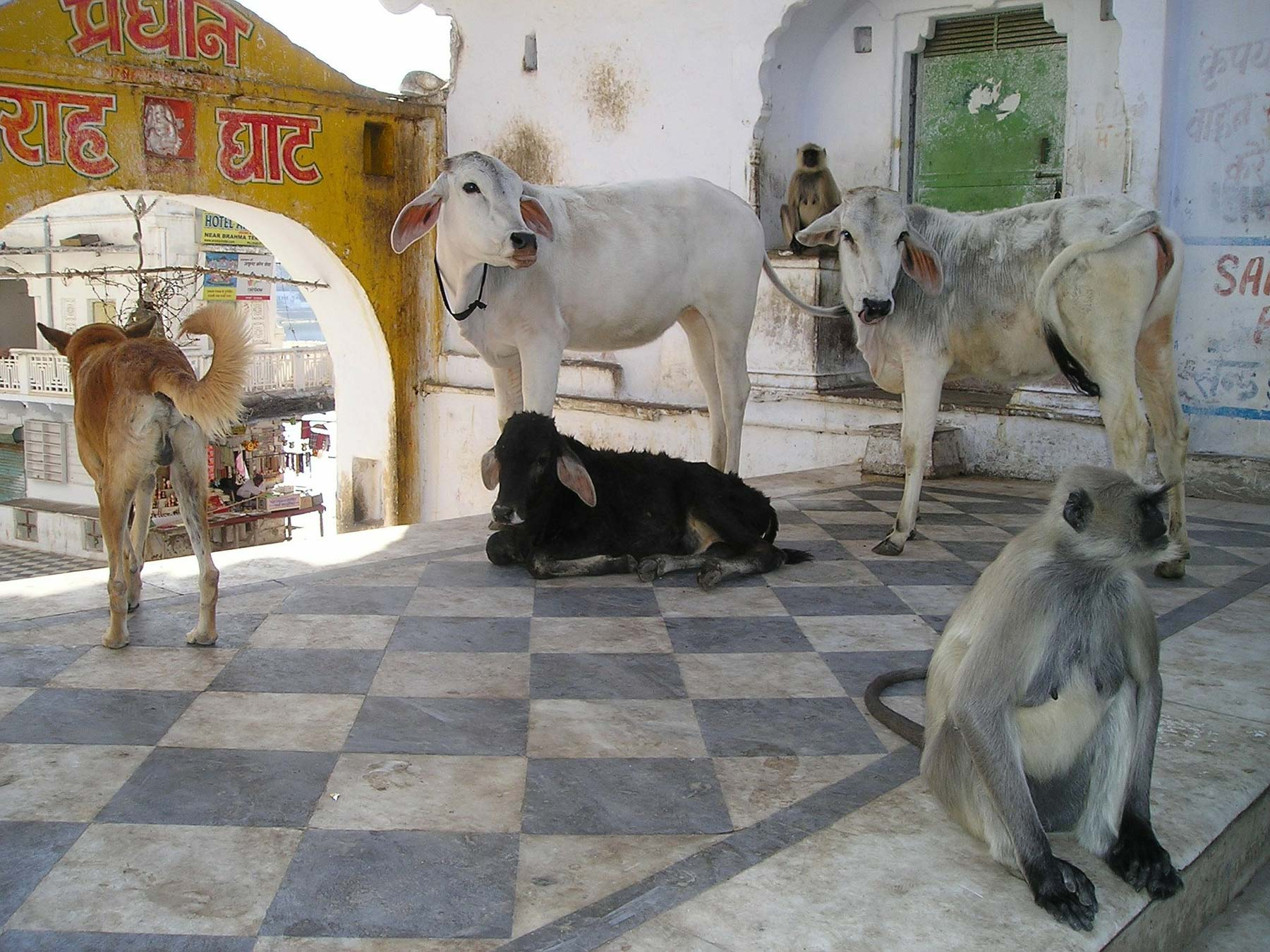 Indian Cow Farms