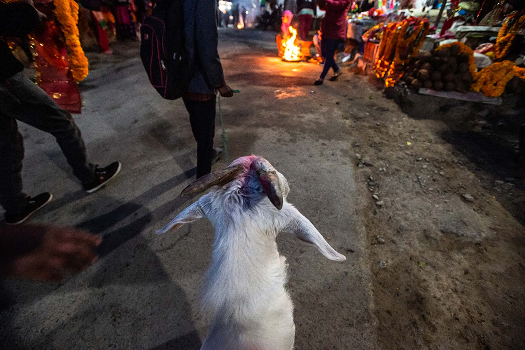 A goat on a road leading to the temple
