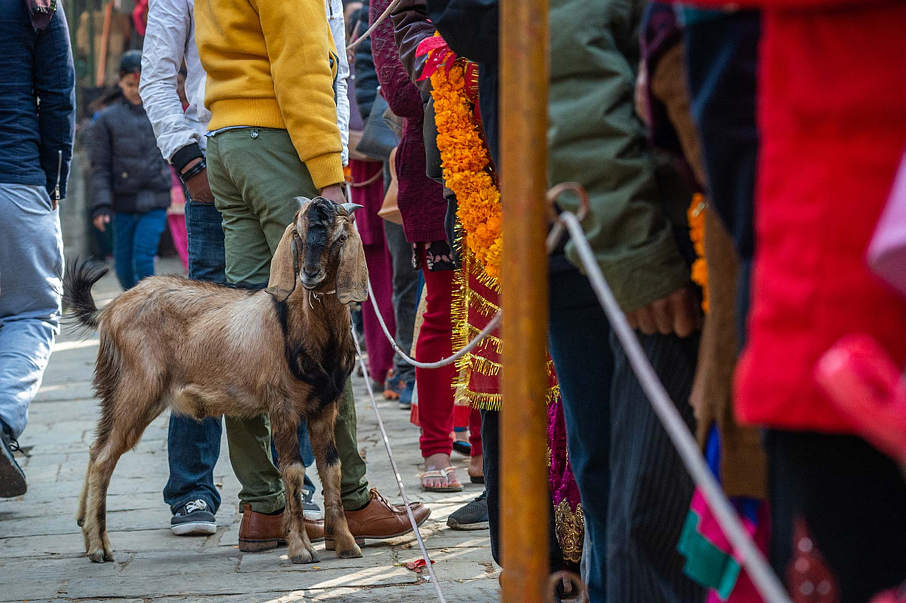 A person holding a goat in line to make a sacrificial offering